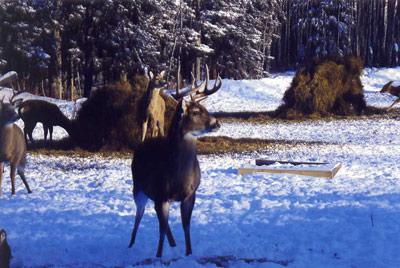 Hideout Deer